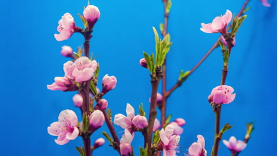 Timelapse video of an apricot flower blossoming against a blue background