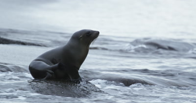 Galapagos Sea Lion scratching on the beach