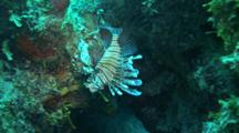 A Red Lionfish (P. Volitans) Hides Under An Overhang On A Reef In The Bahamas