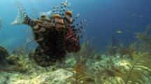 A Red Lionfish (P. Volitans) On A Reef In The Bahamas