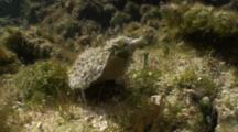Sea Hare Or Sea Slug Crawling Along In Shallow Mossy Tidepool