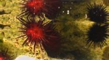 A Purple & Red Sea Urchin Attached To A Rock In A Shallow Tidepool