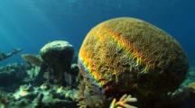 Brain Coral Close Up And Coral Reef Covered By Algae In The Background, Nice Light, Nice Water