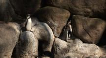 Humbolt Penguin (Spheniscus Humboldti) Resting On Rocks