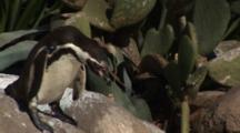 Humbolt Penguin (Spheniscus Humboldti) Hops Off Rocks And Walks Over To Others