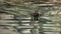 Humbolt Penguin (Spheniscus Humboldti) Swims In The Water