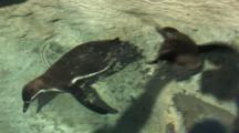 Humbolt Penguin (Spheniscus Humboldti) Swimming Under Water