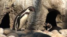 Humbolt Penguin (Spheniscus Humboldti) Walking Through Small Rocky Nesting Area, Camera Pans With Action