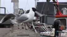 Black Headed Gulls On Dock In DragøR, Denmark, Near CøPenhagen, One Gull Chases Away The Others, Focus Pull