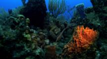 Shot Follows A Trumpet Fish (Aulostomidae) Along A Reef And Then Into Hiding Behind A Sponge