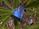 Sierra Nevada Blue - Plebejus Podarce Resting On Host Plant.