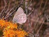 Sooty Hairstreak Butterfly Feeding On Host Plant.