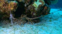 A Spiny Caribbean Lobster Under A Coral Head On The Sand, Camera Pushes In To A Wide Angle Closeup