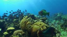 Pov Following A Large School Of Tang Over A Reef And Large Parrotfish Bites Coral