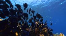 Camera Follows A Large School Of Tang Over A Reef
