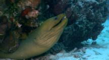 A Green Moray Eel Resting Under A Coral Head