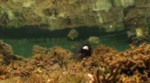 A Large Tidepool With Schools Of Small Reef Fish Swimming About And Feeding On A Dead Sea Urchin