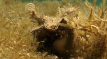 A Small Milk Conch (Strombus Costatus) Faces The Camera In A Shallow Grass Flat, Shot Zooms Out