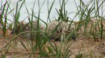 Great Black Backed Gull Chicks (Larus Marinus) Hide In Tall Grass, Very Close Up Shot