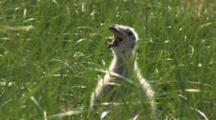 Great Black Backed Gull (Larus Marinus) In Tall Grass And Panting, Shot Zooms Out To Include Two Adult Birds