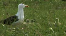 Great Black Backed Gull (Larus Marinus) Chicks And Parent In Tall Grass