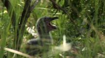 Great Black Backed Gull (Larus Marinus) Panting In Heat Under A Bush
