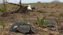 Great Black Backed Gull (Larus Marinus) On Her Nest With A Horseshoe Crab In The Foreground, Shot Zooms Into Bird