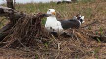 Great Black Backed Gull (Larus Marinus) On Her Nest With A Horseshoe Crab In The Foreground, Shot Zooms Out To Reveal The Crab Shells