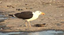 Great Black Backed Gull (Larus Marinus) Eats A Horseshoe Crab, Other Birds In The Background, Nice Afternoon Light