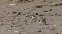 A Piping Plover Trio (Charadrius Melodus) Moving About And Well Camouflaged On A Sandy Beach