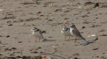 Four Piping Plovers (Charadrius Melodus) Moving About And Well Camouflaged On A Sandy Beach, Possible Territory Dispute