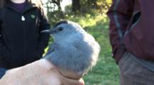 Song Bird Banding Project - A Catbird (Dumetella Carolinensis) Is Hand Held After Being Removed From The Capture Net And Before Banding
