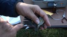 Song Bird Tagging Project - A Yellow-Rumped Warbler (Setophaga Coronata) Is Examined After Having Its Leg Banded