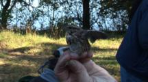 Song Bird Tagging Project - A Yellow-Rumped Warbler (Setophaga Coronata) Is Hand-Held Prior To Banding It's Leg