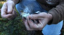 Song Bird Tagging Project - A Yellow-Rumped Warbler (Setophaga Coronata) Is Removed From The Capture Net