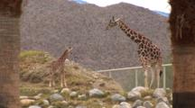 A Juvenile Giraffe With Adults, Mountains In The Background