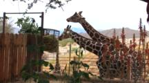 Giraffes Being Fed At Reserve, Mountains In The Background