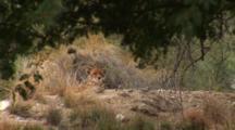 Cheetah (Acinonyx Jubatus) Rests In Brush Inside The Game Reserve