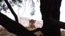 Cheetah (Acinonyx Jubatus) Rests In Brush Inside The Game Reserve, Mountains In The Background