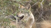 The Mexican Wolf (Canis Lupus Baileyi) Is A Subspecies Of The Gray Wolf. Animal Walking Through Brush.