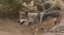 The Mexican Wolf (Canis Lupus Baileyi) Is A Subspecies Of The Gray Wolf. Animal Walking Through Brush, Quick Zoom In.