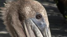 A Brown Pelican (Pelecanus Occidentalis) In The Florida Keys.  Close Up Of Head And Eyes As It Looks About.