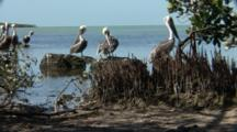 Several Brown Pelicans (Pelecanus Occidentalis) Preening At The Edge Of Mangroves, Ocean In The Background.