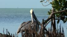 Several Brown Pelican (Pelecanus Occidentalis) Preening At The Edge Of Mangroves, Ocean In The Background. Shot Zooms Out.