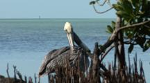 Brown Pelican (Pelecanus Occidentalis) Preening At The Edge Of Mangroves, Ocean In The Background.