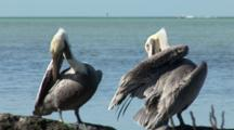 Two Brown Pelicans (Pelecanus Occidentalis) Preening At The Edge Of Mangroves, Ocean In The Background.