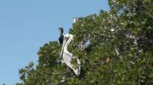 Brown Pelican (Pelecanus Occidentalis) And A Cormorant Roost In Mangrove Tree Tops, Close Up