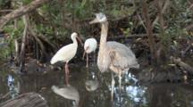 A Great Blue Heron (Ardea Herodias) Stares At The Camera While White Ibis Interact In The Background