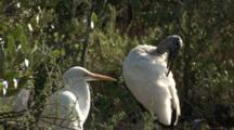 A Great Egret (Ardea Alba) And A Wood Stork (Mycteria Americana) Resting In A Mangrove Forrest, Stork Is Preening