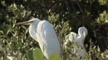 Two Great Egret (Ardea Alba) In A Mangrove Forest, One Is Preening